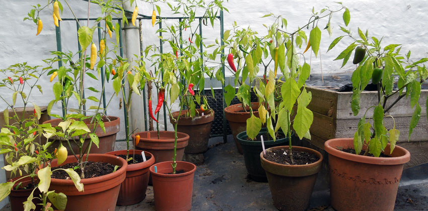 Finished Chilli Peppers