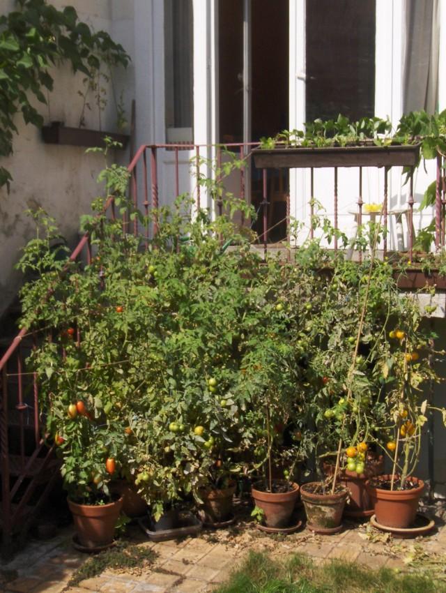 A dozen tomato plants