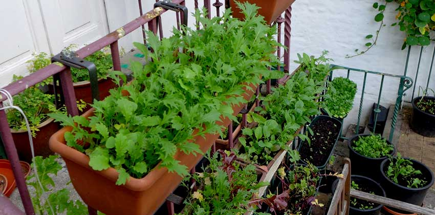 Growing salad in containers gallery