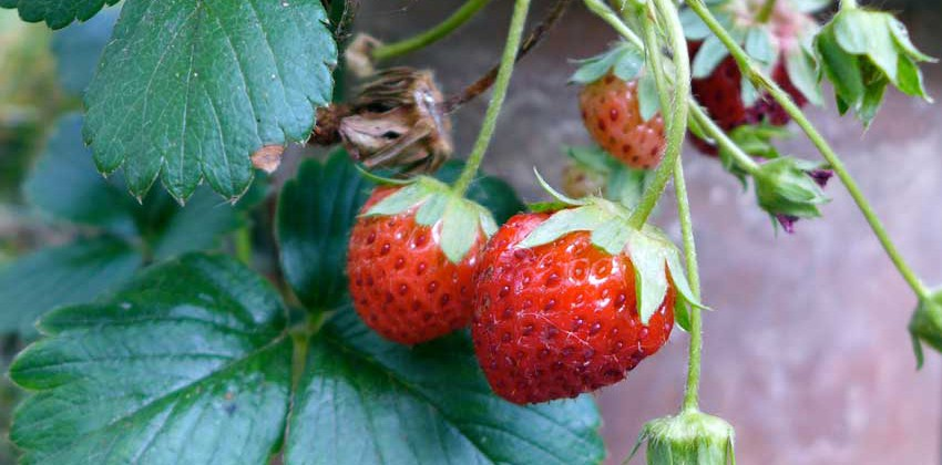 Growing strawberries - detail