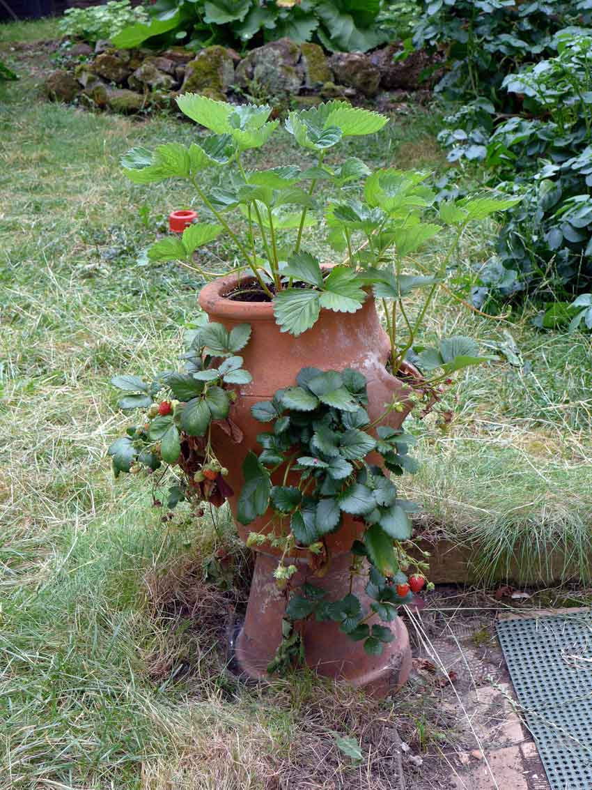 Growing strawberries - turnable pot