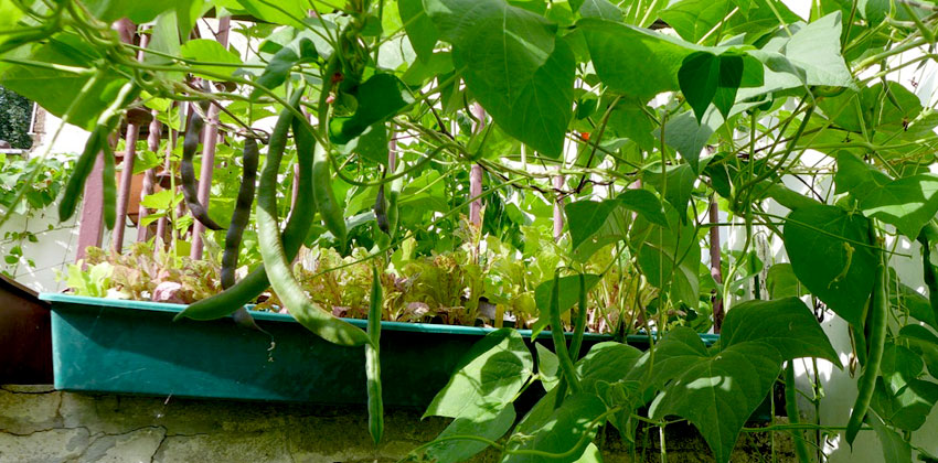 Harvesting climbing beans