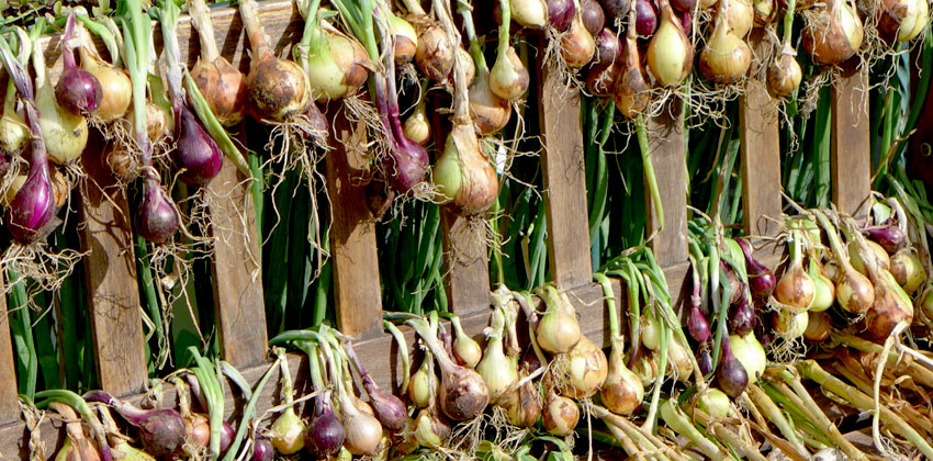Harvesting garlic &onions