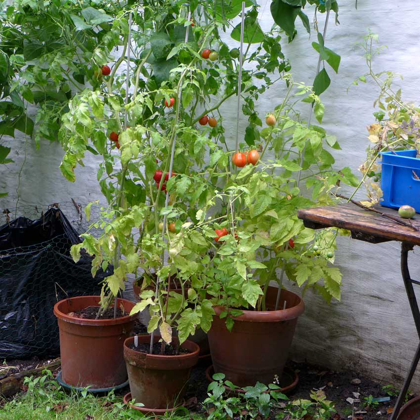 Corners and Edges Tomato Plants