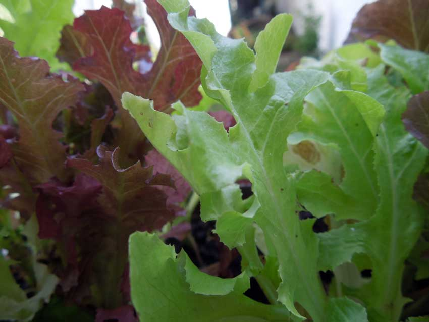 page-growing-salad-in-containers-01