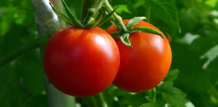 page-growing-tomatoes-header