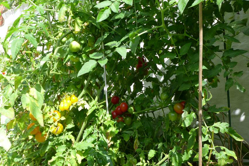 Why Garden? Tomatoes in a frame