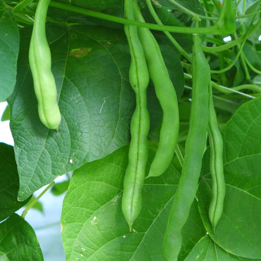 Planting List Beans
