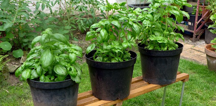 Lets get serious about basil growing