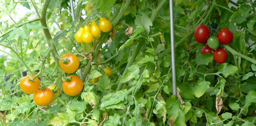 Tomato: List of favourites
