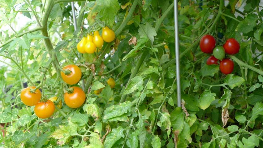 Tomato: List of favourites